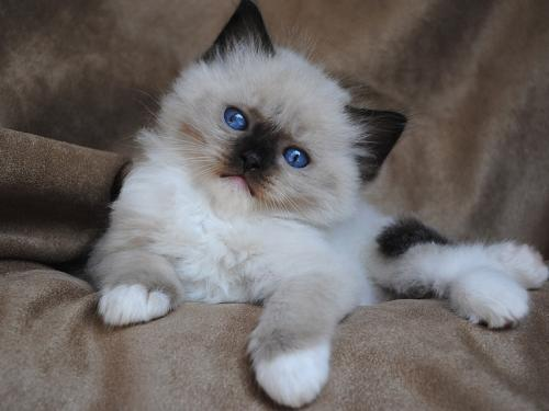 seal point mitted ragdoll.jpg